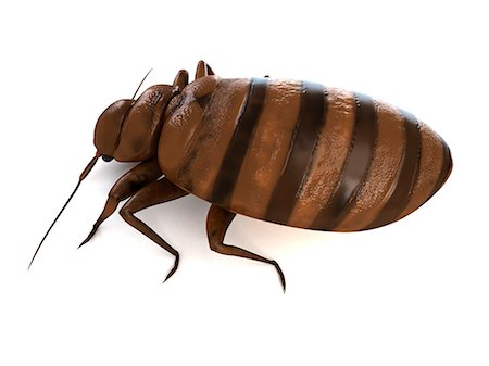 Bedbug (Cimex sp.), computer artwork. Stock Photo - Premium Royalty-Free, Code: 679-06754227