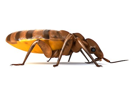 Bedbug (Cimex sp.), computer artwork. Stock Photo - Premium Royalty-Free, Code: 679-06754228