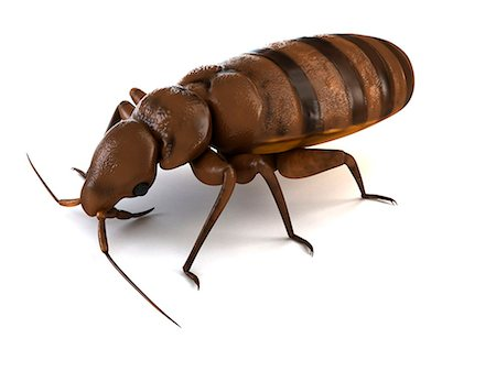 Bedbug (Cimex sp.), computer artwork. Stock Photo - Premium Royalty-Free, Code: 679-06754223