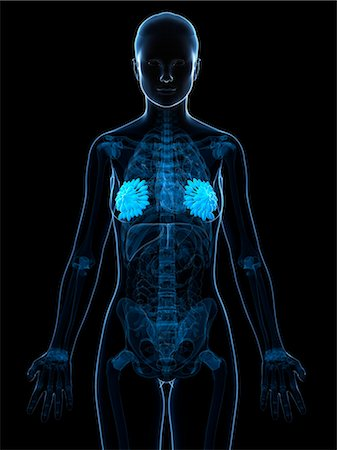 Breast anatomy, computer artwork. Stock Photo - Premium Royalty-Free, Code: 679-06754317