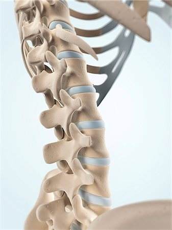 spinal column - Human spine, computer artwork. Stock Photo - Premium Royalty-Free, Code: 679-06754536