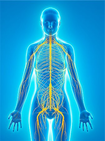 Nervous system, computer artwork. Stock Photo - Premium Royalty-Free, Code: 679-06754885