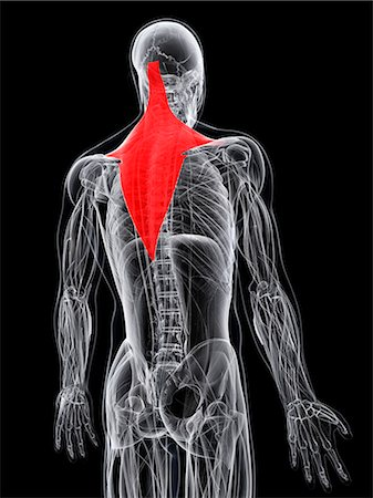 Back muscle. Computer artwork showing the trapezius muscle. Stock Photo - Premium Royalty-Free, Code: 679-06755425