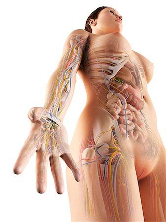 rib - Female anatomy, computer artwork. Stock Photo - Premium Royalty-Free, Code: 679-06779947