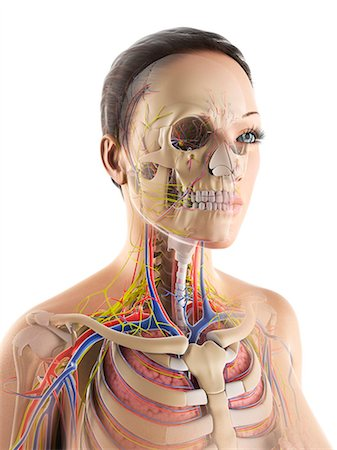 rib - Female anatomy, computer artwork. Stock Photo - Premium Royalty-Free, Code: 679-06780133