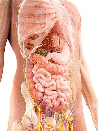rib - Male anatomy, computer artwork. Stock Photo - Premium Royalty-Free, Code: 679-06780640