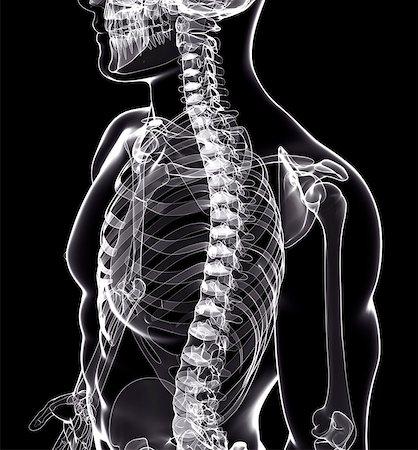 spinal column - Human skeleton, computer artwork. Stock Photo - Premium Royalty-Free, Code: 679-07154110