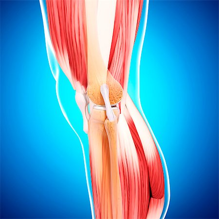 Human leg musculature, computer artwork. Stock Photo - Premium Royalty-Free, Code: 679-07154131