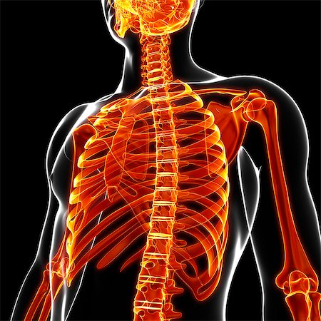 spinal column - Human skeleton, computer artwork. Stock Photo - Premium Royalty-Free, Code: 679-07154152