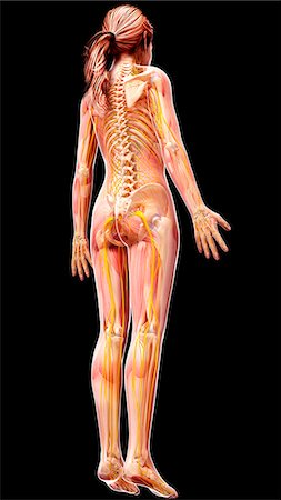 rib - Female nervous system, computer artwork. Stock Photo - Premium Royalty-Free, Code: 679-07154381