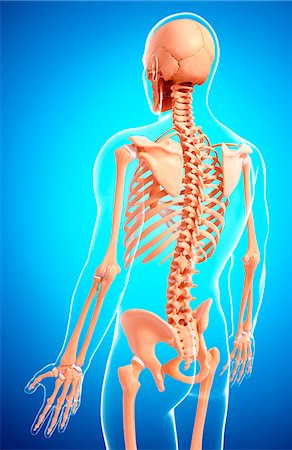 spinal column - Human skeleton, computer artwork. Stock Photo - Premium Royalty-Free, Code: 679-07154424