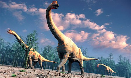 Brachiosaurus was a herbivorous dinosaur that lived roughly 150 million years ago during the Jurassic Period. One of the largest known species of sauropod the long-necked, long-tailed variety its forelimbs were longer than its rear ones. Brachiosaurus measured around 25 metres long and was a high grazer, probably able to feed off trees at heights of up to 13 metres. Only one species in known, B. a Stock Photo - Premium Royalty-Free, Code: 679-07151029