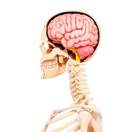 spinal column - Human anatomy, computer artwork. Stock Photo - Premium Royalty-Free, Code: 679-07151639