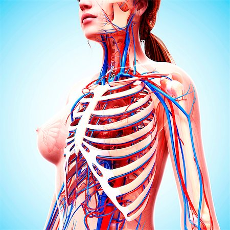 Female cardiovascular system, computer artwork. Stock Photo - Premium Royalty-Free, Code: 679-07151813