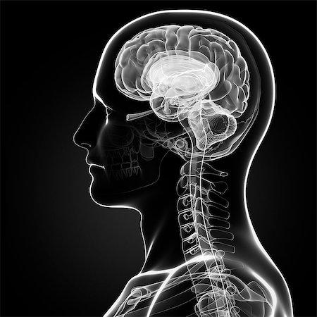 Male brain, computer artwork. Stock Photo - Premium Royalty-Free, Code: 679-07151982