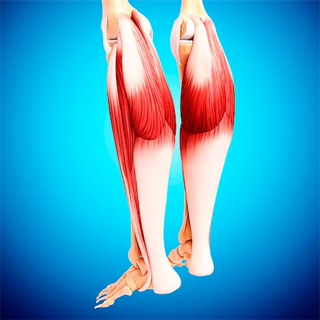 Human leg musculature, computer artwork. Stock Photo - Premium Royalty-Free, Code: 679-07152283