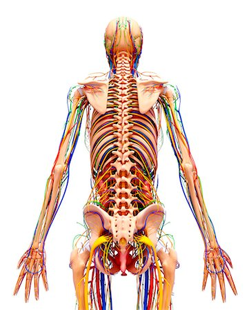 spinal column - Female anatomy, computer artwork. Stock Photo - Premium Royalty-Free, Code: 679-07152337