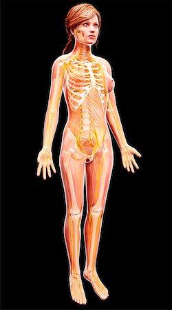 Female nervous system, computer artwork. Stock Photo - Premium Royalty-Free, Code: 679-07153092