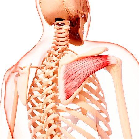 rib - Human shoulder musculature, computer artwork. Stock Photo - Premium Royalty-Free, Code: 679-07153740