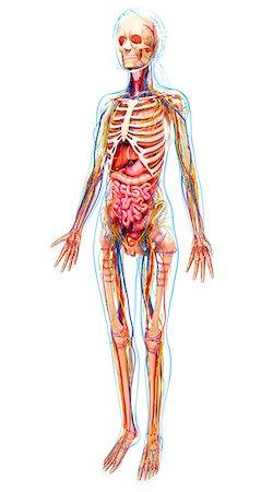 Human anatomy, computer artwork. Stock Photo - Premium Royalty-Free, Code: 679-07153863