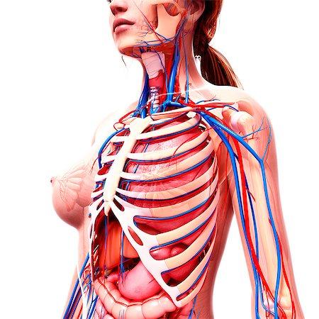 rib - Female anatomy, computer artwork. Stock Photo - Premium Royalty-Free, Code: 679-07162226