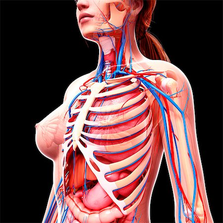 Female anatomy, computer artwork. Stock Photo - Premium Royalty-Free, Code: 679-07162256