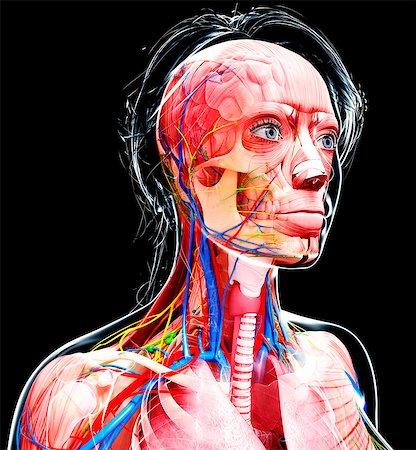 Female anatomy, computer artwork. Stock Photo - Premium Royalty-Free, Code: 679-07162277
