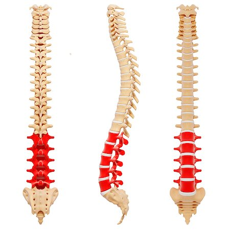 spinal column - Human spine, computer artwork. Stock Photo - Premium Royalty-Free, Code: 679-07162271
