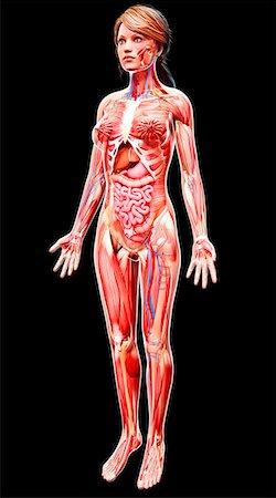 rib - Female anatomy, computer artwork. Stock Photo - Premium Royalty-Free, Code: 679-07162358