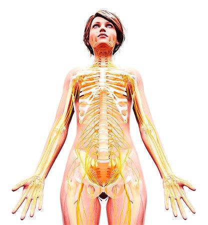 rib - Female nervous system, computer artwork. Stock Photo - Premium Royalty-Free, Code: 679-07162657