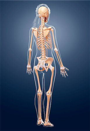 spinal column - Female skeleton, computer artwork. Stock Photo - Premium Royalty-Free, Code: 679-07162750