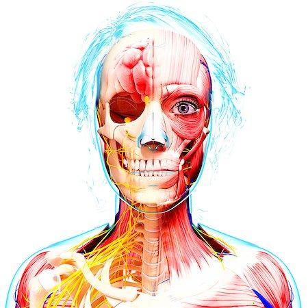 Female anatomy, computer artwork. Stock Photo - Premium Royalty-Free, Code: 679-07162961