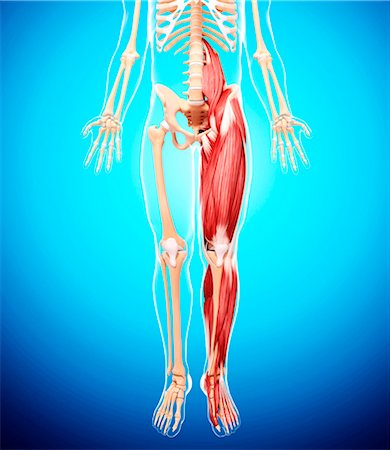 Human leg musculature, computer artwork. Stock Photo - Premium Royalty-Free, Code: 679-07163222