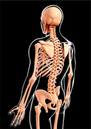spinal column - Human skeleton, computer artwork. Stock Photo - Premium Royalty-Free, Code: 679-07163512