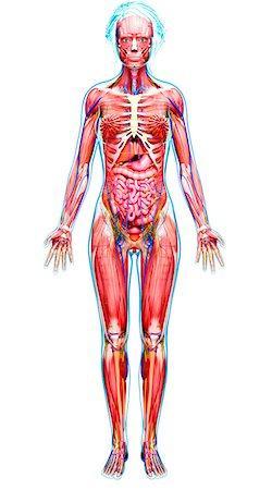 Female anatomy, computer artwork. Stock Photo - Premium Royalty-Free, Code: 679-07163573