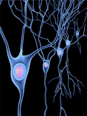 Computer artwork of nerve cells, also called neurons. Neurons are responsible for passing information around the central nervous system (CNS) and from the CNS to the rest of the body. The nerve cell comprises a nerve cell body surrounded by numerous extensions called dendrites, which collect information from other nerve cells or from sensory cells. Each neuron has one process called an axon throug Stock Photo - Premium Royalty-Free, Code: 679-07163596