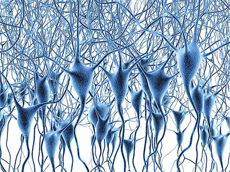 Computer artwork of nerve cells, also called neurons. Neurons are responsible for passing information around the central nervous system (CNS) and from the CNS to the rest of the body. The nerve cell comprises a nerve cell body surrounded by numerous extensions called dendrites, which collect information from other nerve cells or from sensory cells. Each neuron has one process called an axon throug Stock Photo - Premium Royalty-Free, Code: 679-07163609