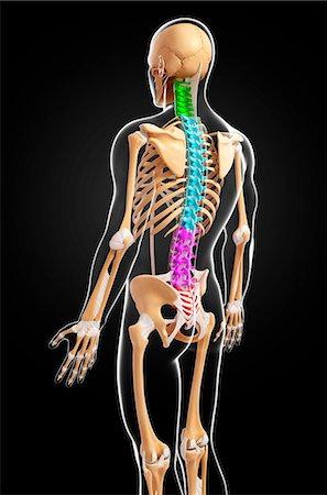 spinal column - Human skeleton, computer artwork. Stock Photo - Premium Royalty-Free, Code: 679-07163623