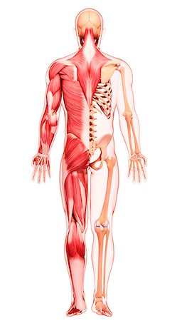Human musculature, computer artwork. Stock Photo - Premium Royalty-Free, Code: 679-07163974