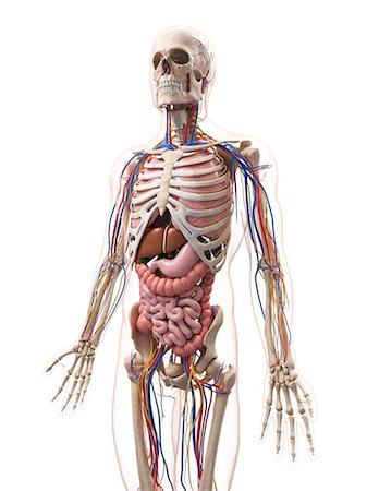 Male anatomy, computer artwork. Stock Photo - Premium Royalty-Free, Code: 679-07604181