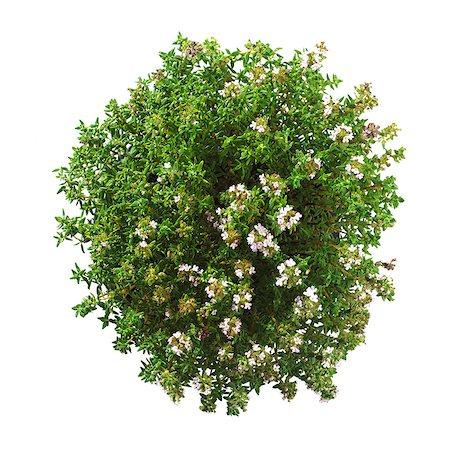 Thyme (Thymus vulgaris) plant. Stock Photo - Premium Royalty-Free, Code: 679-07604339