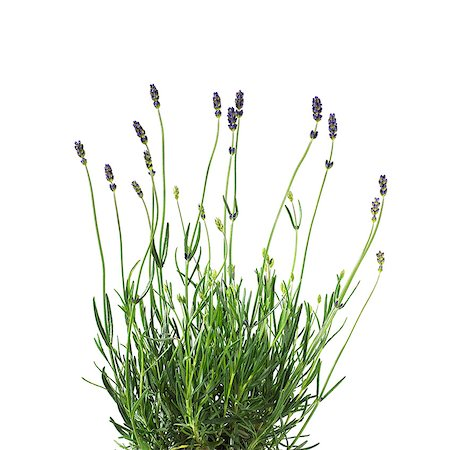 Lavender (Lavandula sp.) plant. Stock Photo - Premium Royalty-Free, Code: 679-07604342