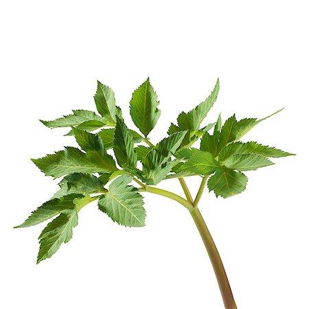 pharmaceutical plant - Angelica archangelica stem. Stock Photo - Premium Royalty-Free, Code: 679-07604366