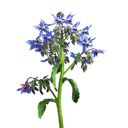 Borage (Borago officinalis) flowers. Stock Photo - Premium Royalty-Free, Code: 679-07604367
