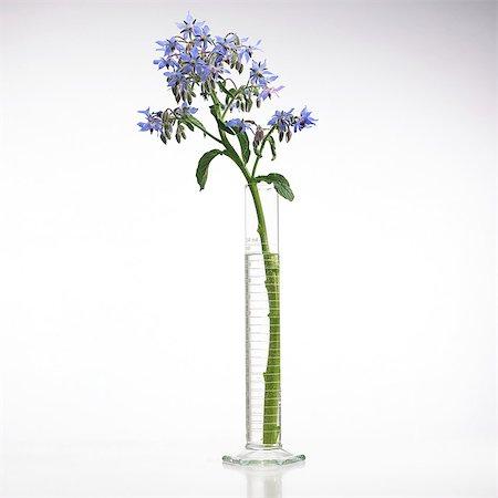 plant (botanical) - Borage (Borago officinalis) flowers. Stock Photo - Premium Royalty-Free, Code: 679-07604361