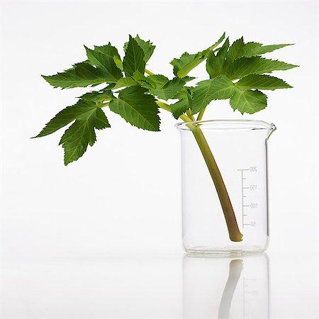 plant (botanical) - Angelica archangelica stem. Stock Photo - Premium Royalty-Free, Code: 679-07604362