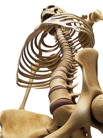 rib - Spine and thorax, computer artwork. Stock Photo - Premium Royalty-Free, Code: 679-07604393