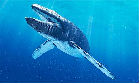 Blue whale, computer artwork. Stock Photo - Premium Royalty-Free, Code: 679-07604757