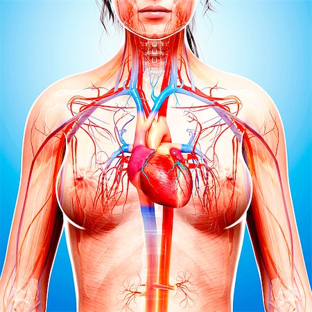 Female cardiovascular system, computer artwork. Stock Photo - Premium Royalty-Free, Code: 679-07605303
