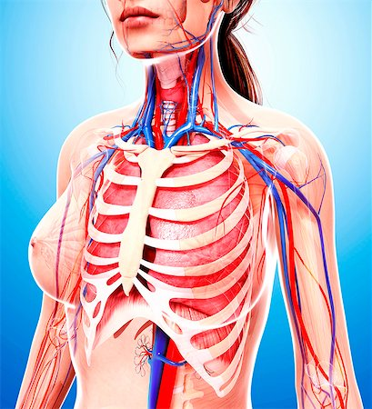 Female cardiovascular system, computer artwork. Stock Photo - Premium Royalty-Free, Code: 679-07605398